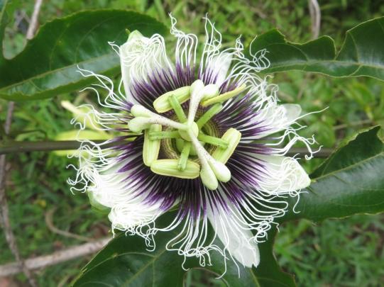 Passion Fruit Flower @ RCL