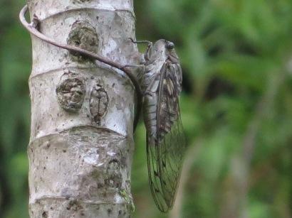 Cicada on tree @ Finca Sylvatica