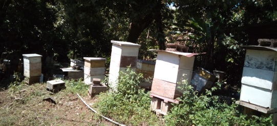 People here use Langstroth hives. Somehow bees have not yet been Africanized here. Honey is more expensive here than anywhere I have ever seen.