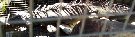 The Jamaican Iguana caged up illegally. No one enforces or protects conservation laws here.