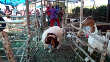 Big goats at the Ag Expo