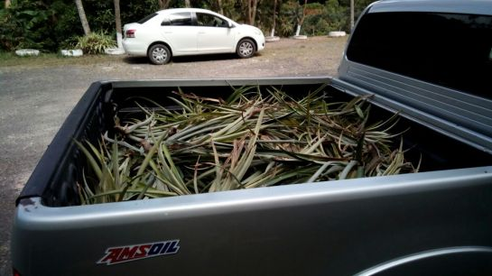 Pine suckers in back of truck