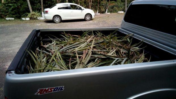 Pine suckers in back of truck
